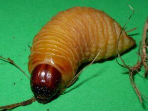 1280px-Rhynchophorus_ferrugineus_larva