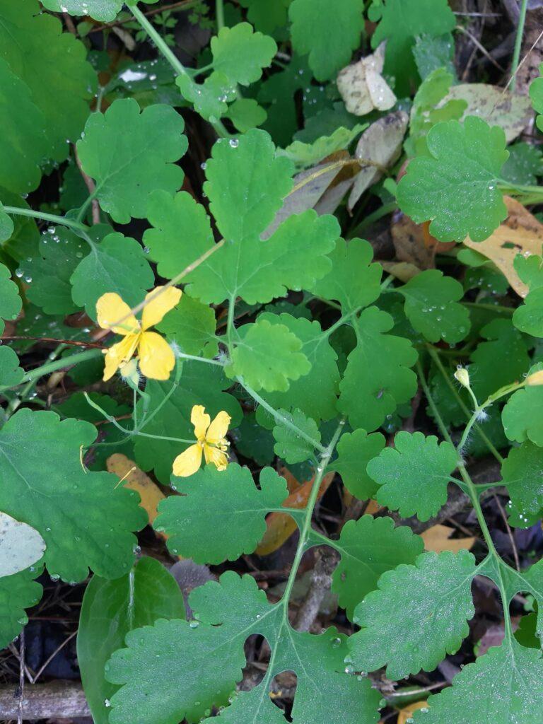 Flor celidonia
