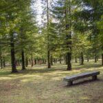 El bosque de secuoyas más grande de Europa está en Galicia