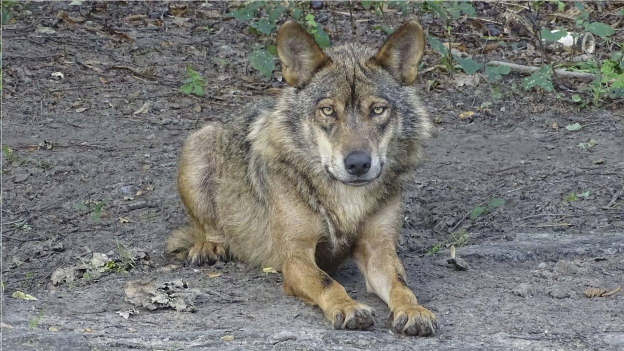 Lobo protegido