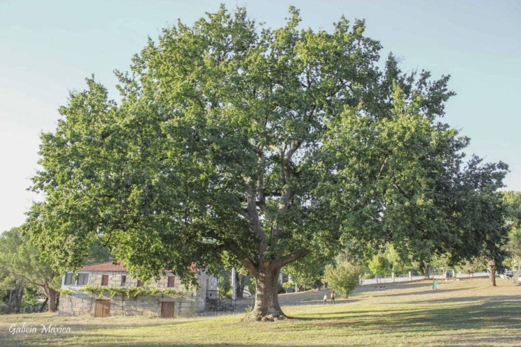 Árbol del santuario de As Marabillas