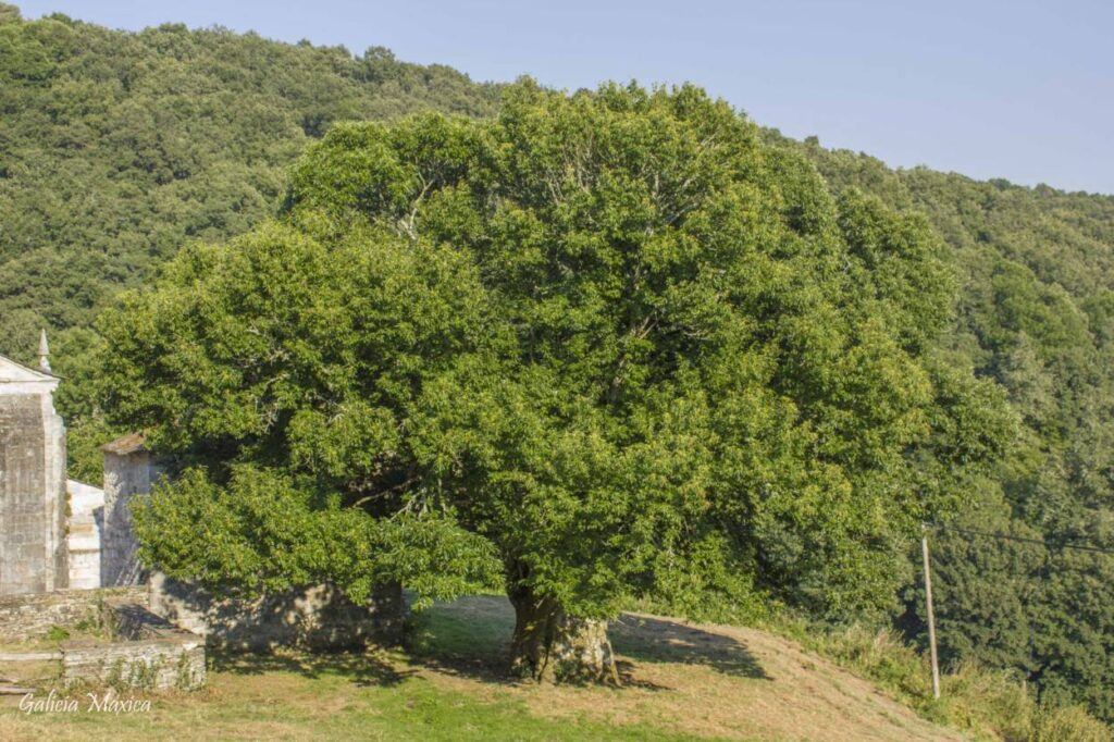 Árbol de O Incio