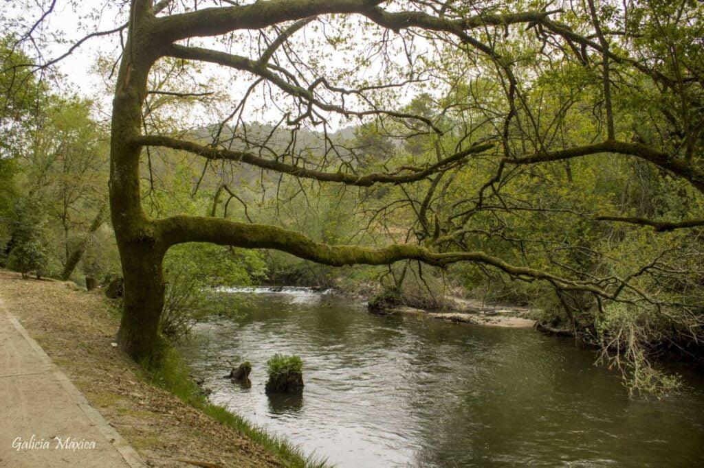 Árbol en el río Arnoia