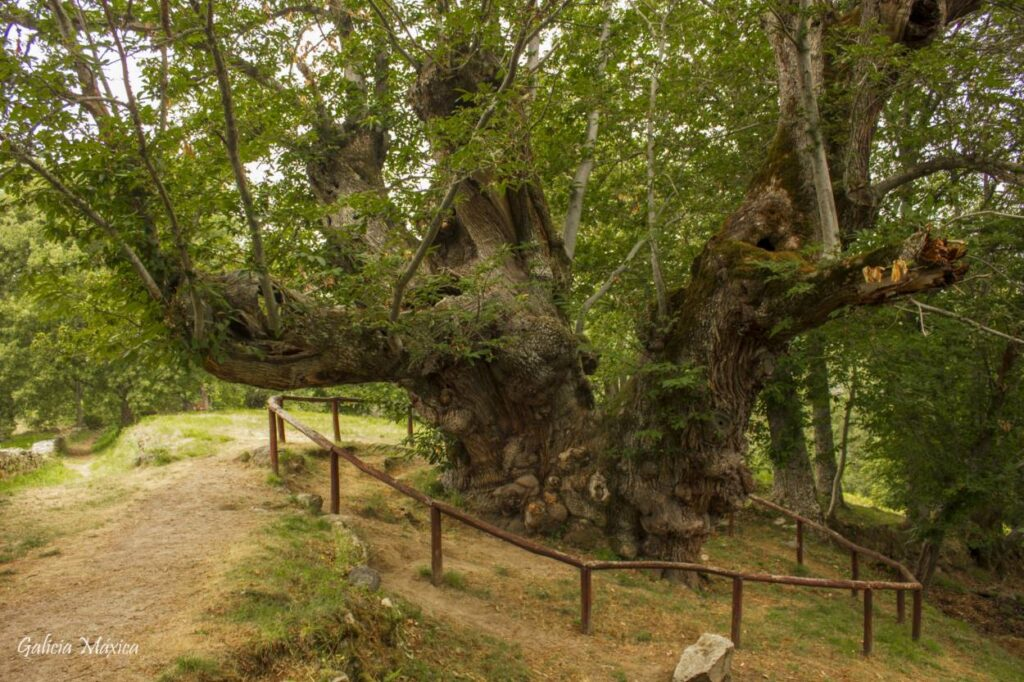 Castiñeiro gigante de Manzaneda