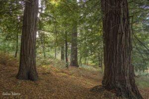 Bosque de secuoyas de Buchabade
