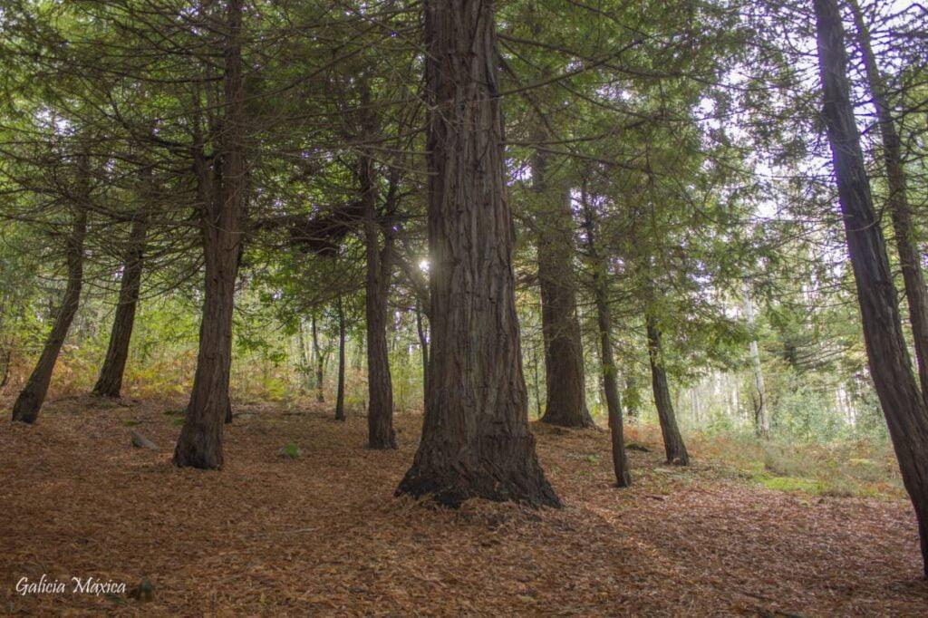 Bosque de secuoyas de Ponte Caldelas